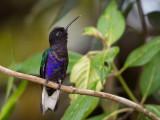 velvet-purple coronet(Boissonneaua jardini)
