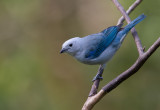 blue-gray tanager(Thraupis episcopus)
