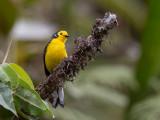 golden-fronted whitestart(Myioborus ornatus)