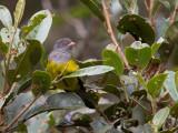 grey-hooded bush-tanager(Cnemoscopus rubrirostris)