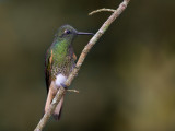 buff-tailed coronet(Boissonneaua flavescens)