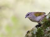 black-striped sparrow(Arremonops conirostris)