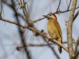 spot-breasted woodpecker(Colaptes punctigula)