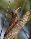 streak-headed woodcreeper(Lepidocolaptes souleyetii)