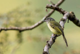 yellow-olive flycatcher(Tolmomyias sulphurescens)