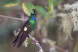 buff-winged starfrontlet(Coeligena lutetiae)