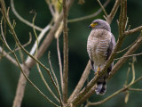 roadside hawk(Rupornis magnirostris)
