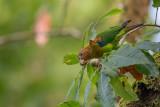 rusty-faced parrot(Hapalopsittaca amazonina)