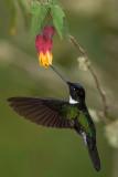 collared inca(Coeligena torquata)