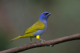 blue-capped tanager(Thraupis cyanocephala)