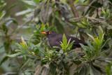 great thrush(Turdus fuscater)
