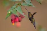 bronzy inca(Coeligena coeligena)