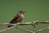 speckled hummingbird(Adelomyia melanogenys)