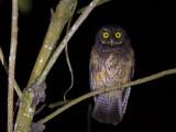 white-throated screech owl(Megascops albugularis)