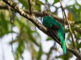 golden-headed quetzal(Pharomachrus auriceps)
