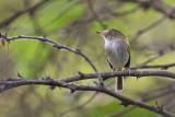 pale-eyed pygmy-tyrant(Atalotriccus pilaris)
