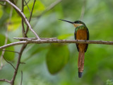 rufous-tailed jacamar(Galbula ruficauda)