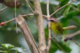 rufous-capped warbler(Basileuterus rufifrons)