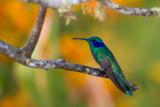 sparkling violetear(Colibri coruscans)
