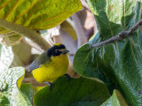 yellow-crowned whitestart(Myioborus flavivertex)