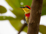 yellow-fronted woodpecker(Melanerpes flavifrons)