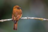 cinnamon flycatcher(Pyrrhomyias cinnamomeus)