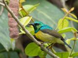collared sunbird(Hedidypna collaris)