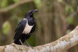 pied crow(Corvus albus)