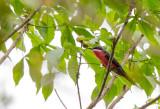 rosy bee-eater(Merops malimbicus)