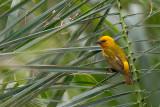 orange weaver(Ploceus aurantius)