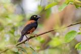 vieillot's black weaver(Ploceus nigerrimus)
