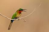 red-throated bee-eater(Merops bulocki)