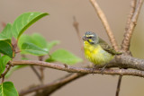 yellow-fronted canary(Serinus mozambicus)