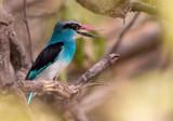 blue-breasted kingfisher(Halcyon malimbica)
