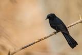 northern black flycatcher(Melaenornis edolioides)