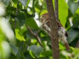 ferruginous pygmy owl(Glaucidium brasilianum )
