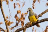 bruce's green-pigeon(Treron waalia)