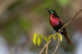 scarlet-chested sunbird(Chalcomitra senegalensis)