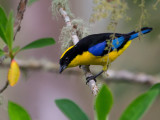 blue-winged mountain-tanager(Anisognathus somptuosus)