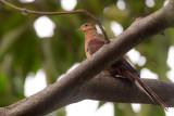 slender-billed cuckoo-dove(Macropygia amboinensis)