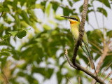 blue-tailed bee-eater(Merops philippinus)