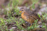 red-backed buttonquail(Turnix maculosus)