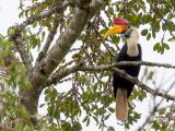 knobbed hornbill(Rhyticeros cassidix)