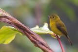 citrine canary-flycatcher(Culicicapa helianthea)