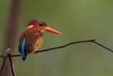 sulawesi dwarf kingfisher(Ceyx fallax)