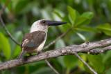 great-billed kingfisher(Pelargopsis melanorhyncha)