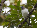 ivory-backed woodswallow(Artamus monachus)