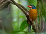 blue-headed kingfisher(Actenoides monachus)