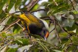 fiery-browed starling(Enodes erythrophris)