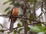 rusty-breasted cuckoo(Cacomantis sepulcralis)